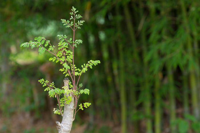 Moringa Oleifera: The King of Superfoods