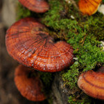 Studies Show That Reishi Mushrooms Can Fight Cancer and Diabetes