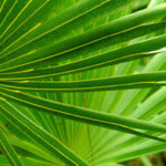 Saw Palmetto Can Treat Hair Loss, Enlarged Prostates, and UTIs