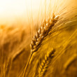 Four Ways Wheat Is Proven to Destroy Our Health