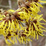 Five Ways Witch Hazel Benefits Our Skin