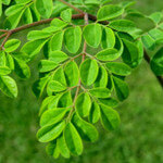 Moringa Oleifera: The King of Superfoods